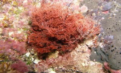 Alga vermelha