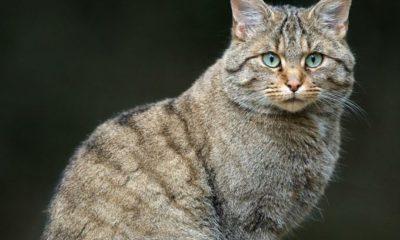 Gato-Montês